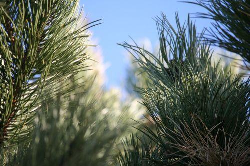 pušis,pušis,gamta,mėlynas dangus,šviesa,natūralus,miškas,žalias