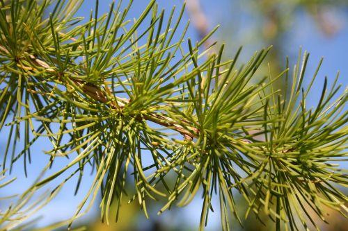 pine tree macro