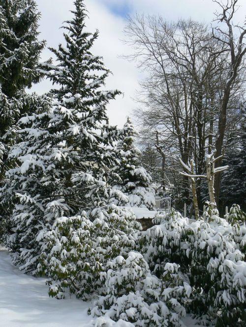 pine tree conifer