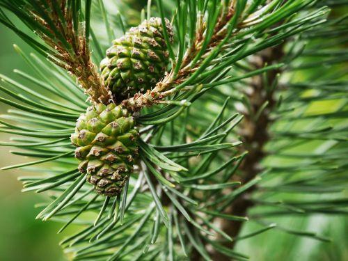 pine tap needles