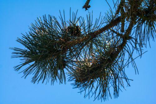 pine needles tap