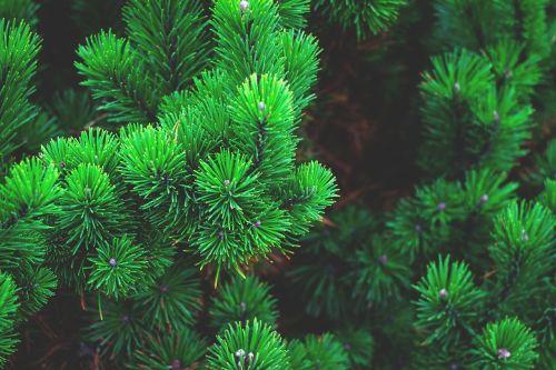 pine plant tree