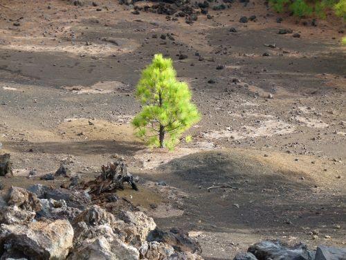 pine green tree