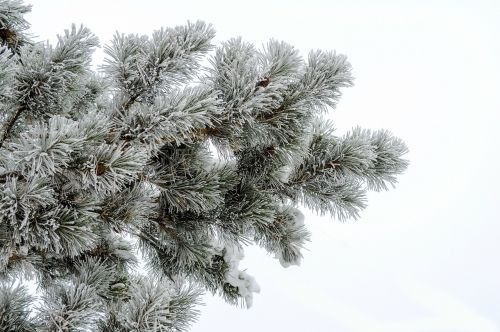pine frost white background