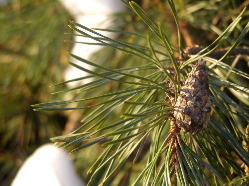 pine pine cone sprig