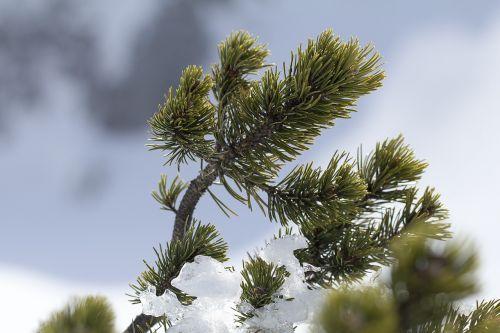 pine pinus mugo mountain pine