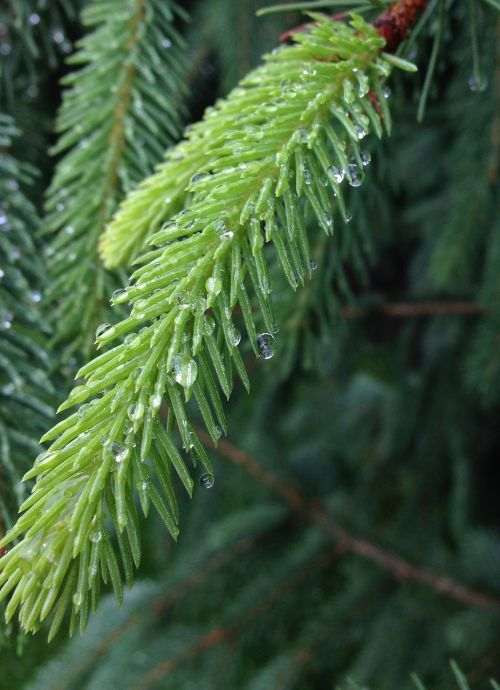 pine fir evergreen