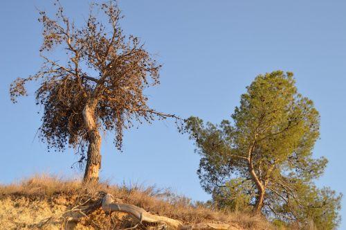 pine contrast dry tree