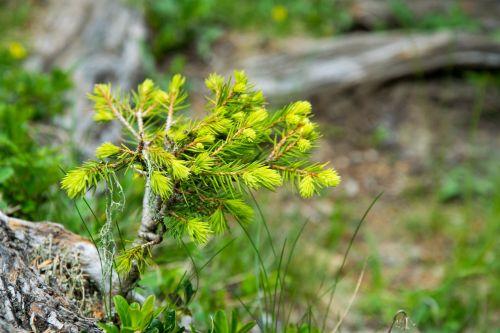 pine scion tree
