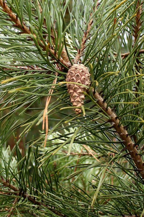 pine needles pine needles