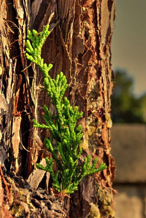 pine sapling tree