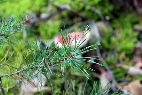 pine sprig forest