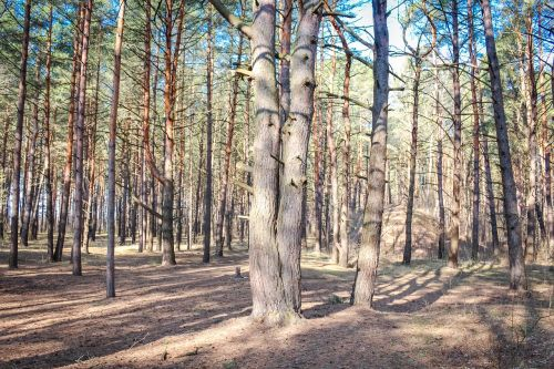 pine forest coniferous