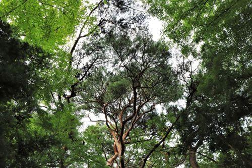 pine tree pinetree