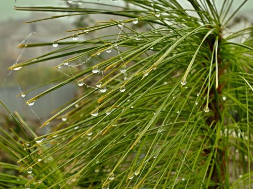 pine tree droplets