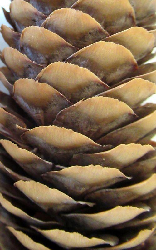 pine cone crop