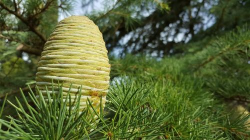 pine cone pine nature