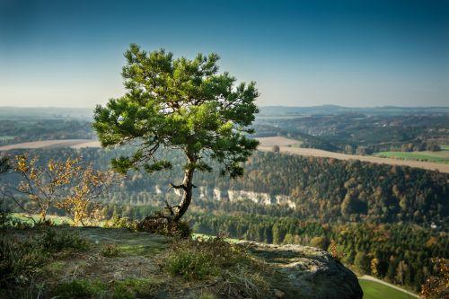 pine tree alone