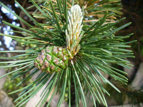 pine engine foliation