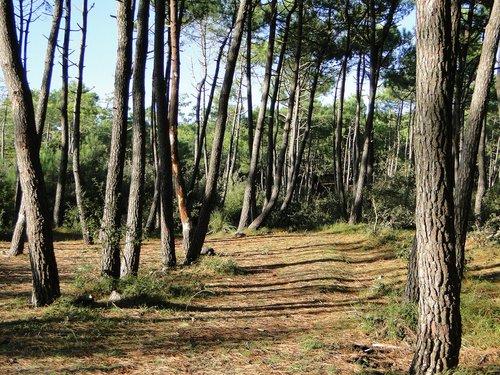 pine  nature  maritime pine