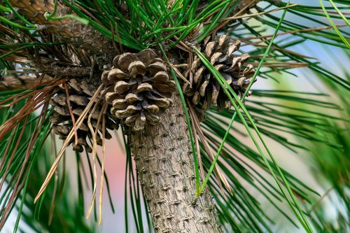 pine  plant  natural