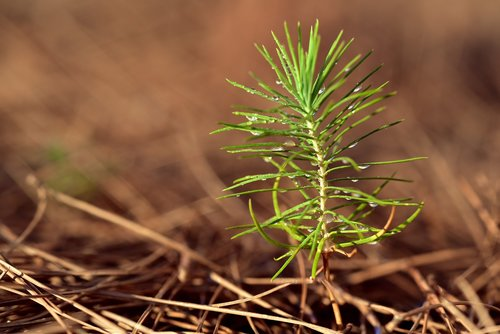 pine  new  young