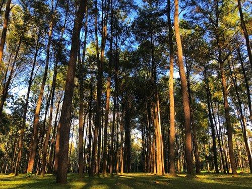 pine  pine tree  tree