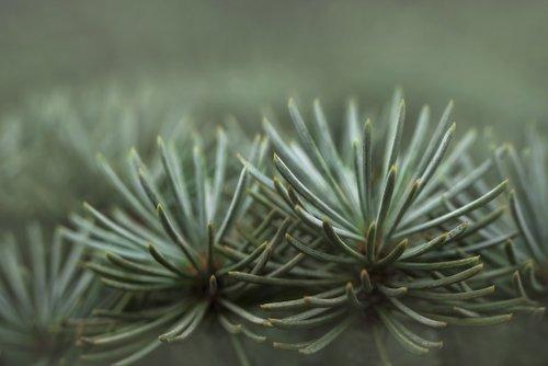 pine  green  nature