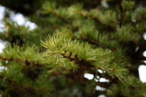 pine pine branch pine needles
