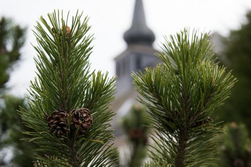 pine pine cones church