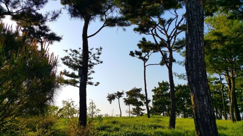 pine,wood,arboretum,blue,nature,landscape,greenness