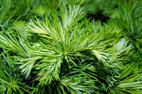 pine needles tree