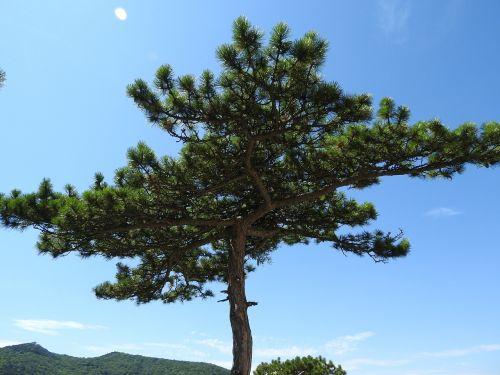 pine conifer tree