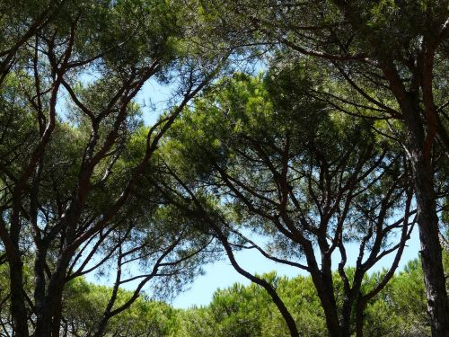 pine forest trees