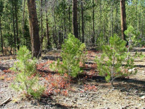 pine seedlings green