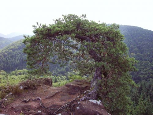 pine tree palatinate