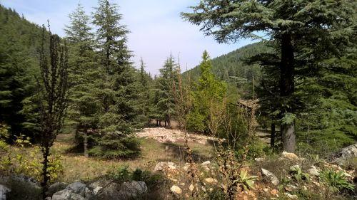 pine tar tree