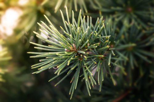 pine branch pine branch