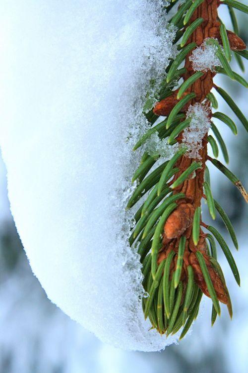 pine branch green spruce needle