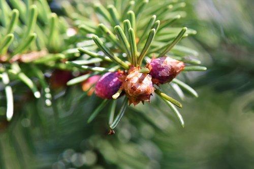 pine branch  engine  needles