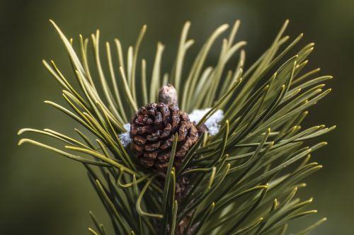 pine cone pine needles pinecone