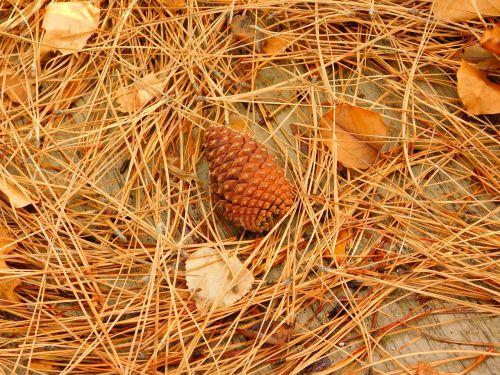 pine cone fall pine needles