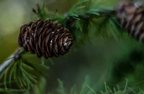 pine cone green tree