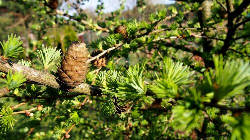 pine cone larch nature