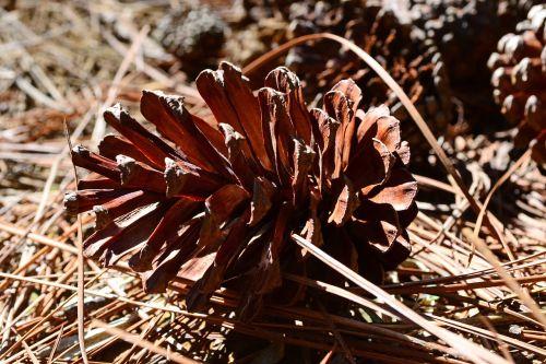 pine cone cone fruit