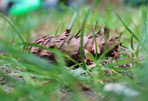 pine cone spruce conifers