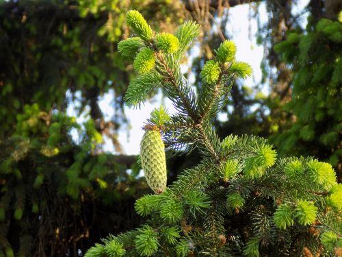 pine cone branch needles