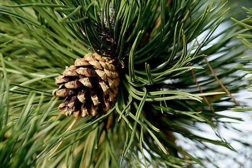 pine cone pine pinecone pine