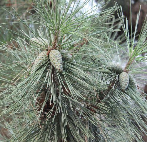 pine cone pine cone