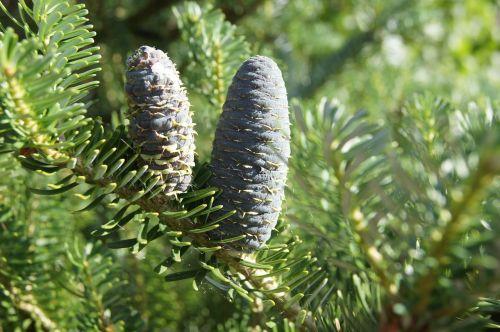 pine cone pine needles